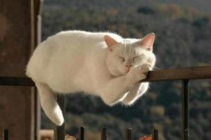 White Cat Sleeping