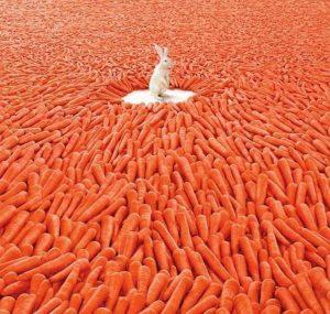 Rabbit in a field of carrots